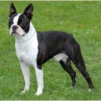 Порода собак бостон-терьер
