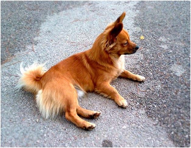 Описание породы собак Алопекис