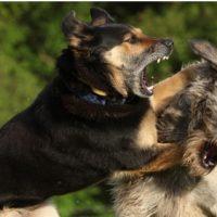 Как показать собаке, что ты вожак