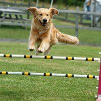 Что такое аджилити для собак