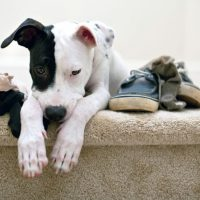 Как отучить собаку грызть обувь