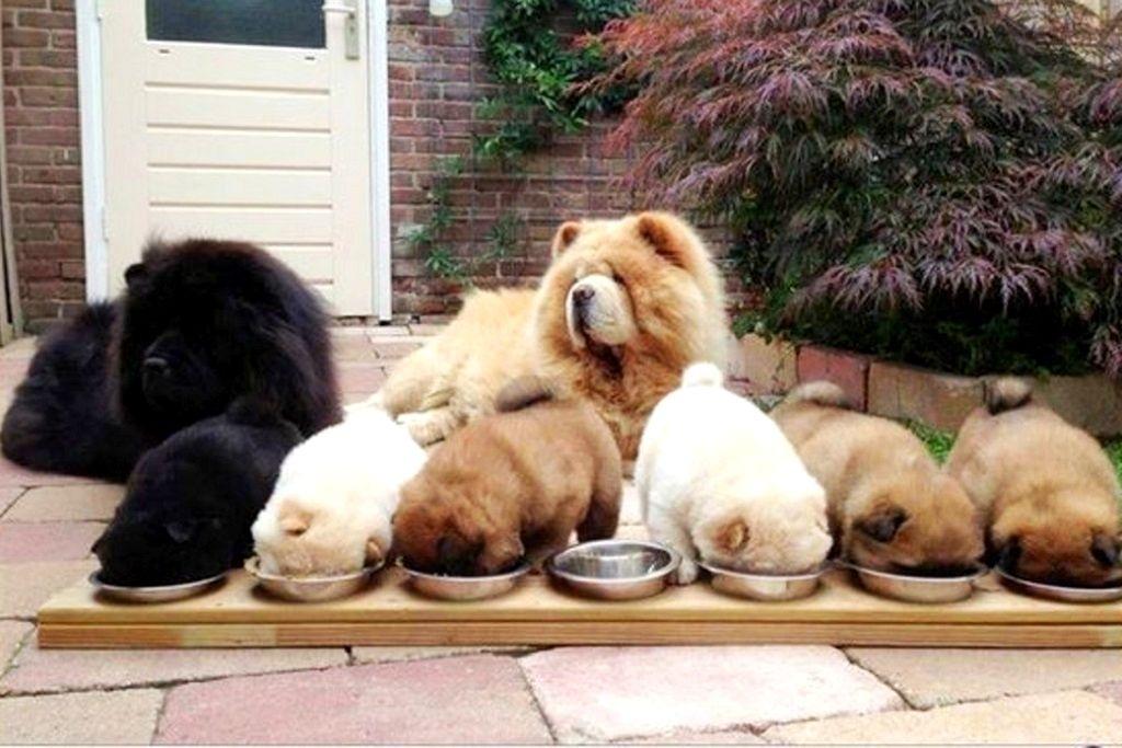Как выбрать щенка Чау Чау