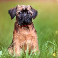 Порода собак Брюссельский Грифон