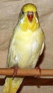 попугай чех